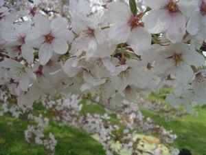 100410桜.JPG