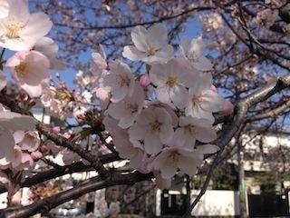 150403桜.jpg